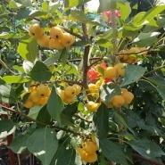 Яблоня райская дерево сад (желтая + красная)