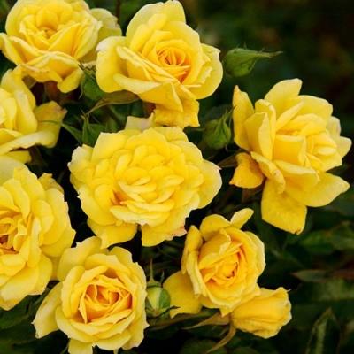 Роза бордюрная, спрей  Райз-ен-Шайн