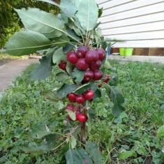 Яблоня колоновидная райская черешневидная