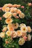 Роза бордюрная, спрей  Ребекка Мэри