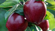Яблоня Ред Делишес (США)
