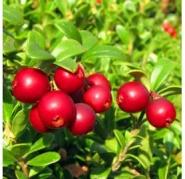 "Брусника ""Ред Кенди""\Vaccinium vitis-idaea ""Red Candy"""