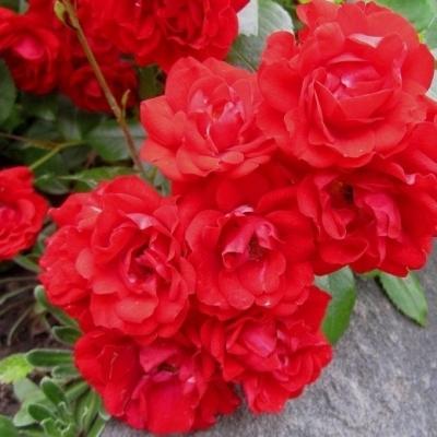 Роза миниатюрная Ред Мин/Red Min (контейнер 2л)