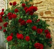 Роза плетистая Ред парфюм