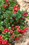 "Брусника ""Ред Перл""\Vaccinium vitis-idaea""Red Pearl"""