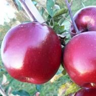Яблоня Ред Топаз (Чехия)