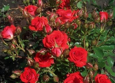 Роза бордюрная Ред Микадо