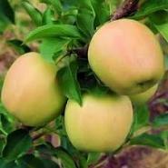 Яблоня Голден Резистент (зимняя)