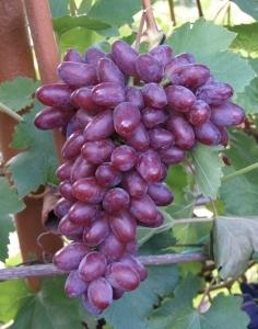 Виноград Ромео