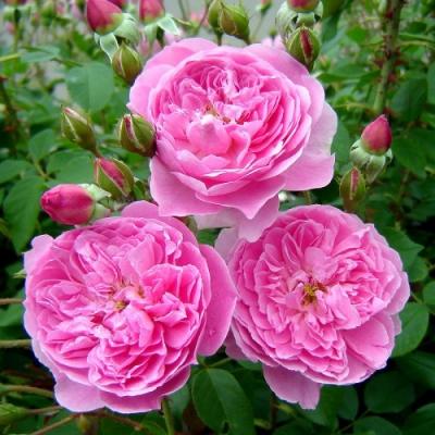Роза английская Мерлин