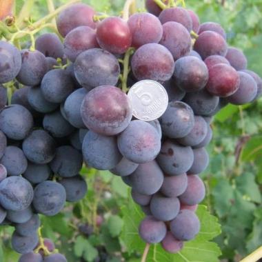 Виноград Рошфорт