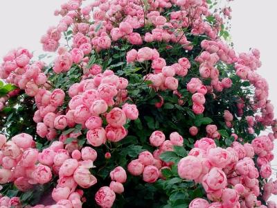 Роза английская Бразер Кадфил/Brother Cadfael