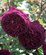 Роза английская Леди Дарк