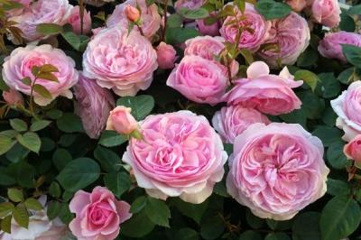 Роза английская Оливия Роуз Остин