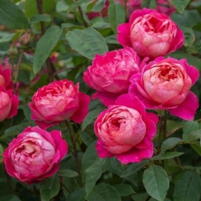 Роза английская  Бенджамин Бриттен