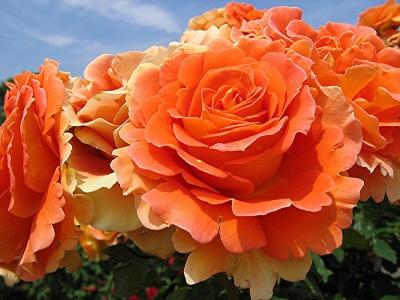 Роза бордюрная Пати Оранж