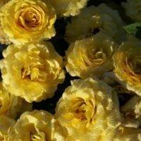 Роза бордюрная Апполо