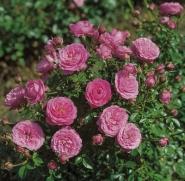 Роза бордюрная Литл Пинк/Litl Pink