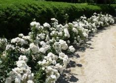 Роза бордюрная Вайт Леди/White Ledi