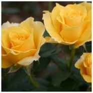 Роза чайно- гибридная  Голдина