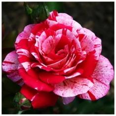 Роза чайно-гибридная Папагено