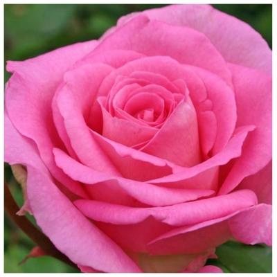 Роза чайно-гибридная Паваротти