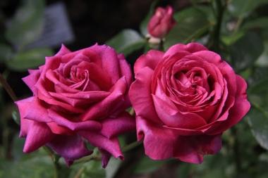 Роза чайно-гибридная Саманта