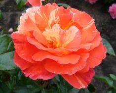 Роза флорибунда Поль Гоген