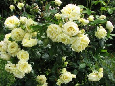 Роза плетистая Эльф