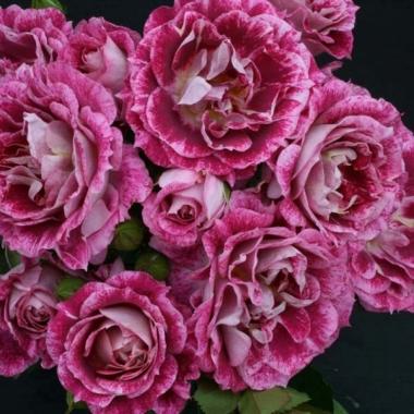 Роза флорибунда  Летс Селебрайт