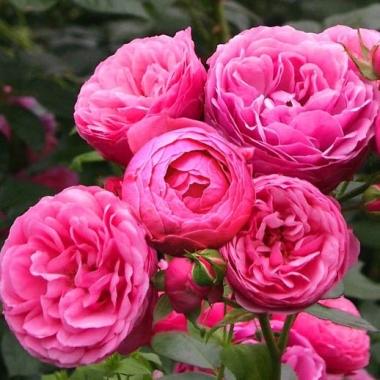 Роза флорибунда Пампонелла