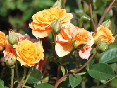 Роза спрей Клементина