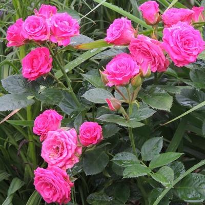 Роза миниатюрная спрей Лавли Лидия
