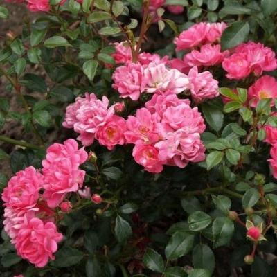 Роза миниатюрная Пинк