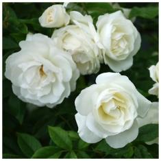 Роза плетистая Белый каскад