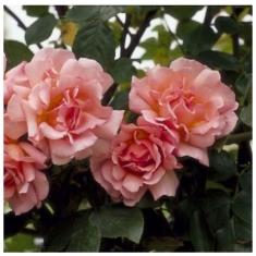 Роза плетистая Компейшн