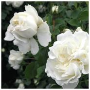 Роза почвопокровная Вайт Мейдиленд
