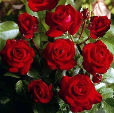 Роза миниатюрная Ред Макарена