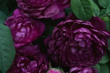 Роза шраб Кардинал де Ришелье