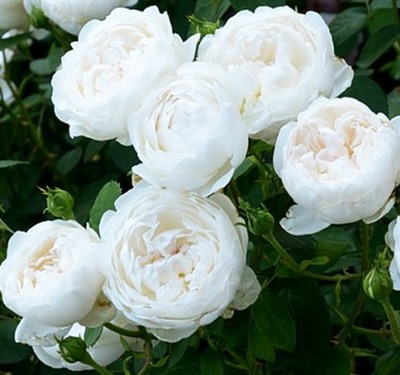Роза английская Глэмис Кастл/Glamis Castle