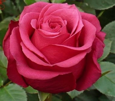 Роза чайно-гибридная Амалия