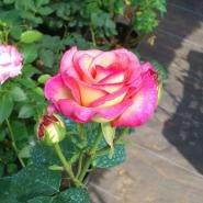 Роза чайно-гибридная Куин Амазон