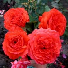 Роза плетистая Майнтауэр