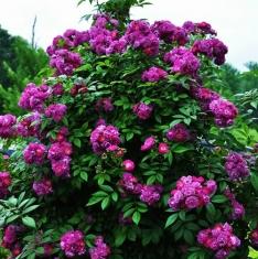 Роза почвопокровная Перениал Блю