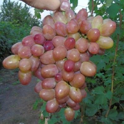 Виноград Розмус