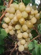 Виноград Розовая Дымка