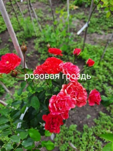 Роза штамбовая Розовая Гроздь