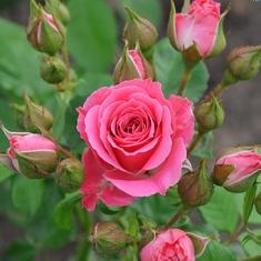 Роза спрей/миниатюрная Розовый Спрей\Pink Sprey
