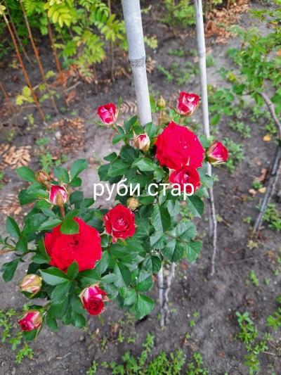 Роза штамбовая Руби Стар и Кордула