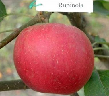 Яблоня Рубинола (Чехия)